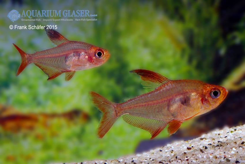 Hyphessobrycon sweglesi - Roter Phantomsalmler 5