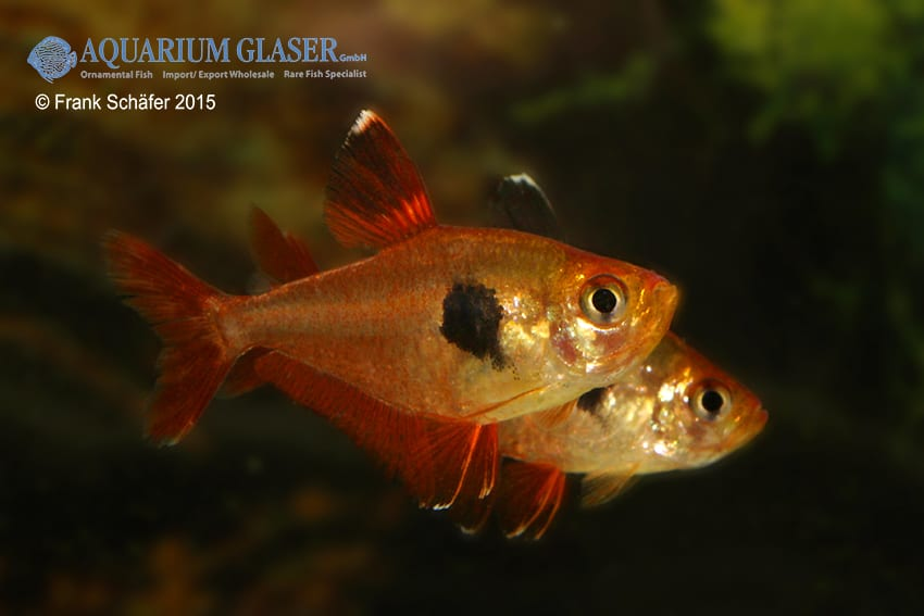 Hyphessobrycon sweglesi - Roter Phantomsalmler 6