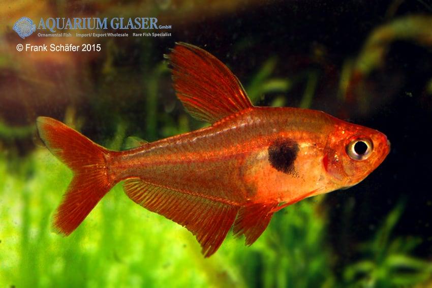 Hyphessobrycon sweglesi - Roter Phantomsalmler 7