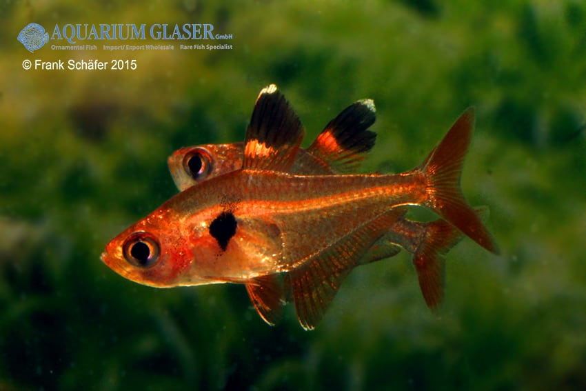 Hyphessobrycon sweglesi - Roter Phantomsalmler 8