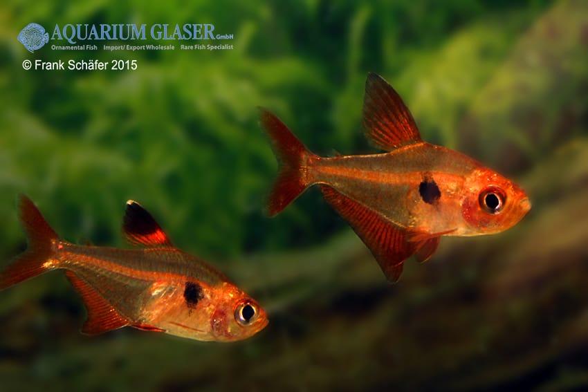 Hyphessobrycon sweglesi - Roter Phantomsalmler 9