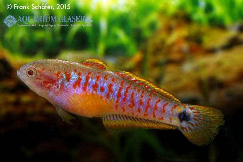 Tateurndina ocellicauda - Pastellgrundel 18