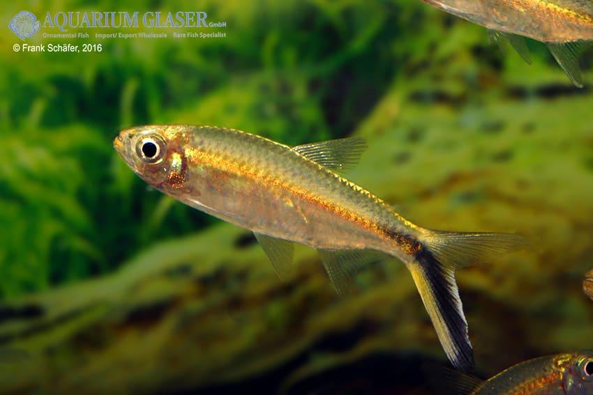 Thayeria boehlkei - Schrägschwimmer 5
