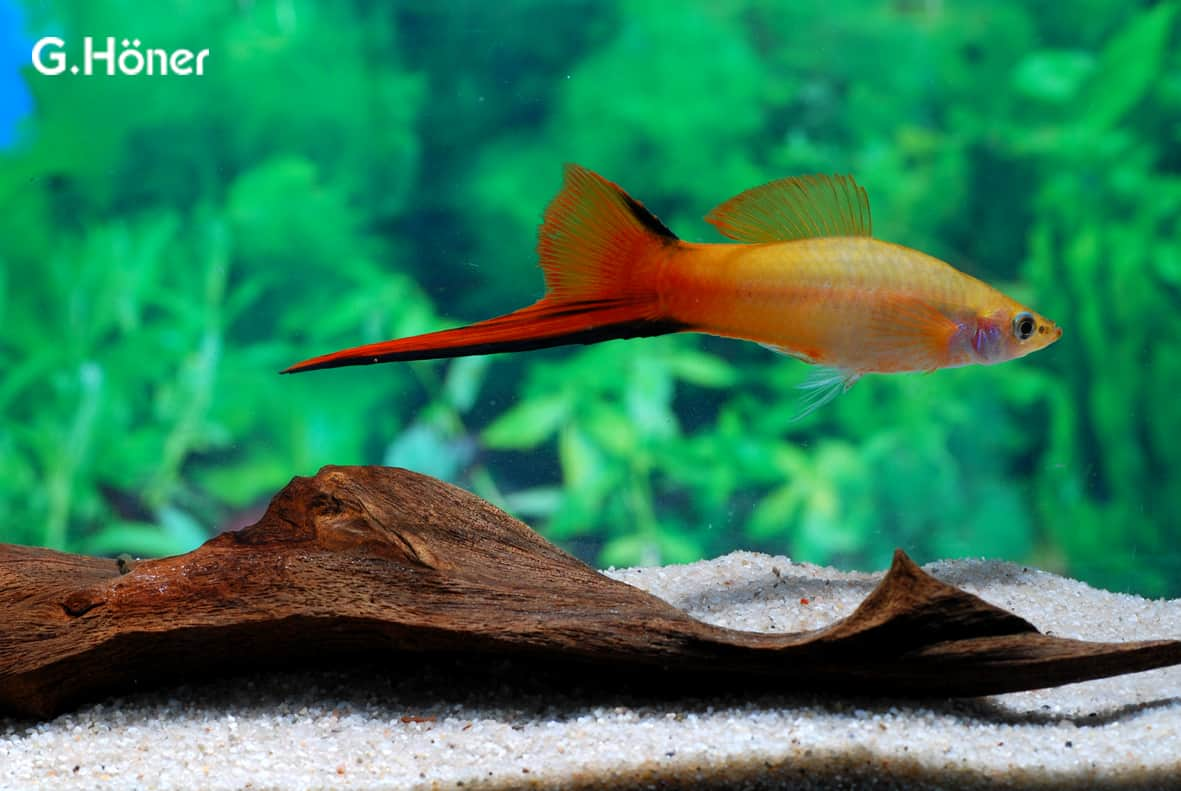 Xiphophorus hellerii - Schwertträger 8