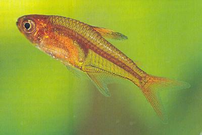 Hyphessobrycon amandae - Feuertetra 4