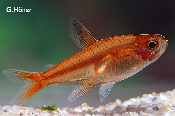 Hyphessobrycon amandae - Feuertetra 1