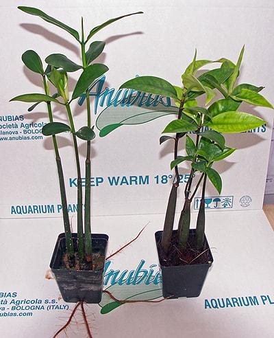 Rhizophora mangle - Rote Mangrove 1