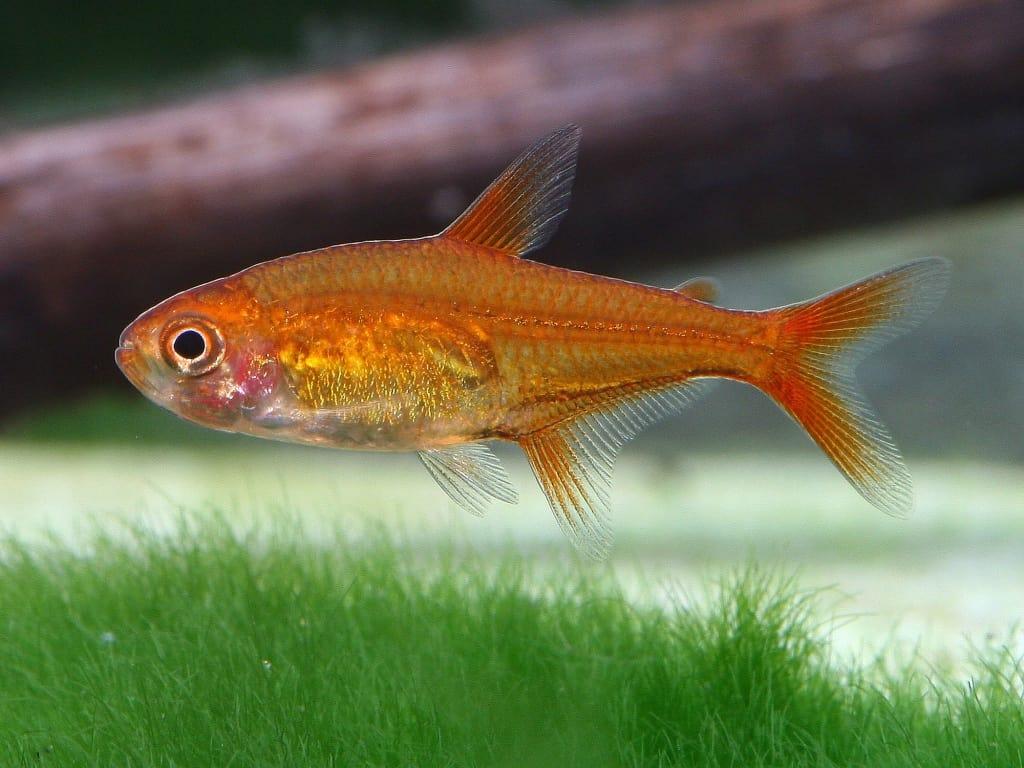 Interessante Aquarienbewohner - Salmler 4