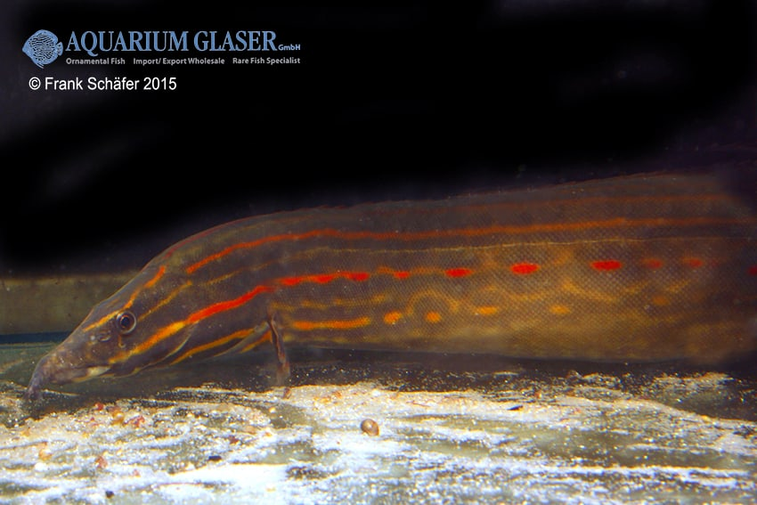 Mastacembelus erythrotaenia feuerstachelaale my fish for Robuste zierfische