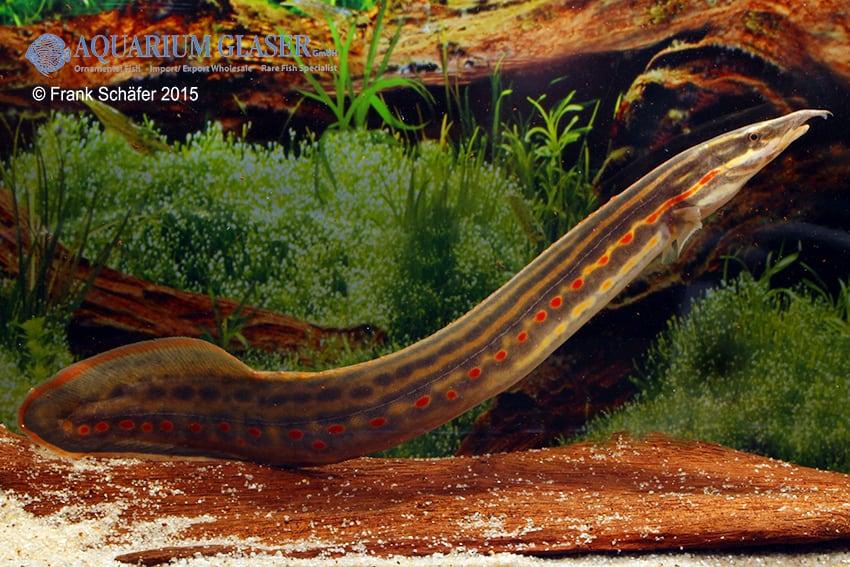 Mastacembelus erythrotaenia - Feuerstachelaale 9