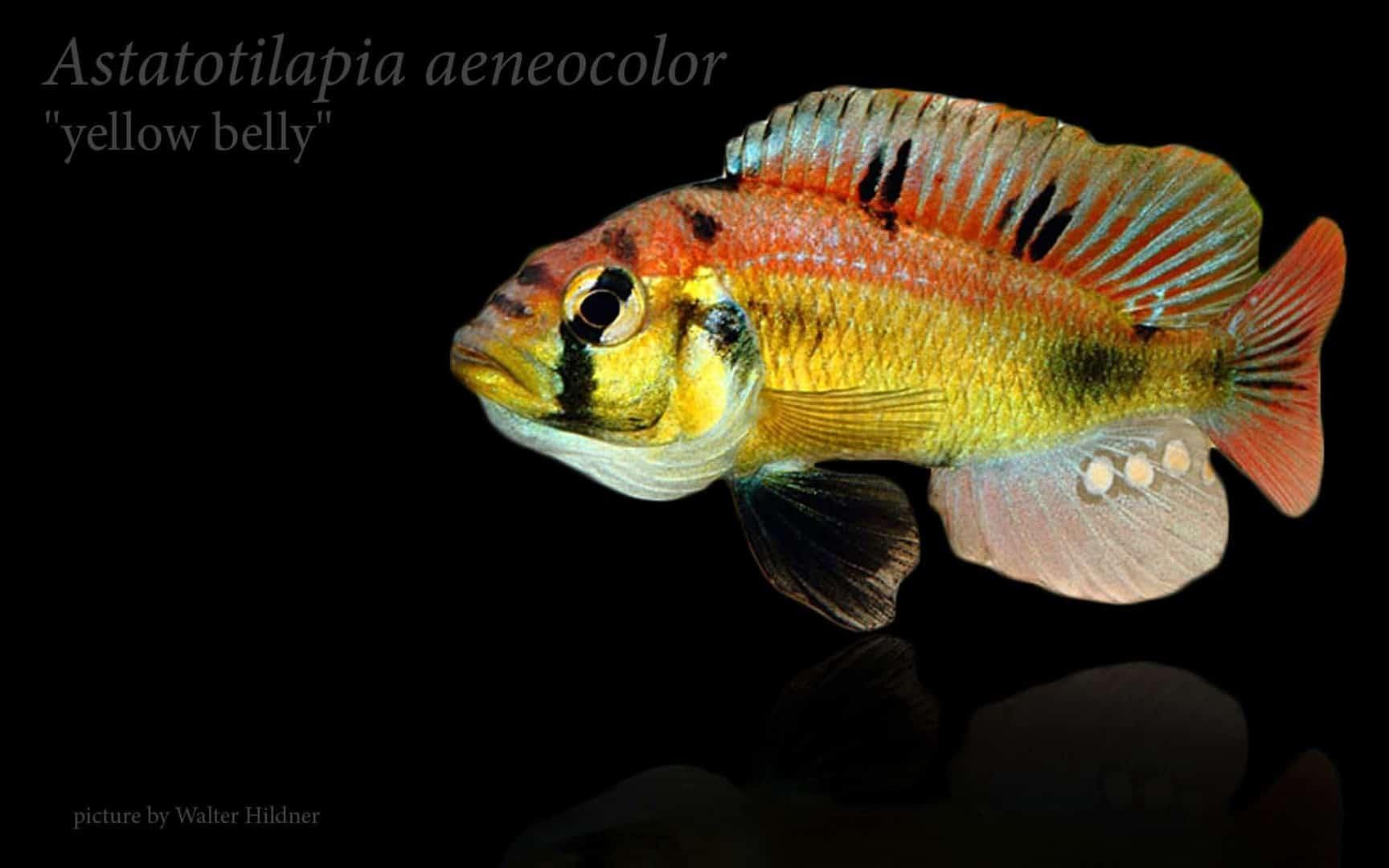 "Astatotilapia aeneocolor - ""Yellow Belly"" 12"