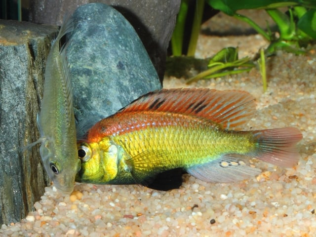 "Astatotilapia aeneocolor - ""Yellow Belly"" 10"