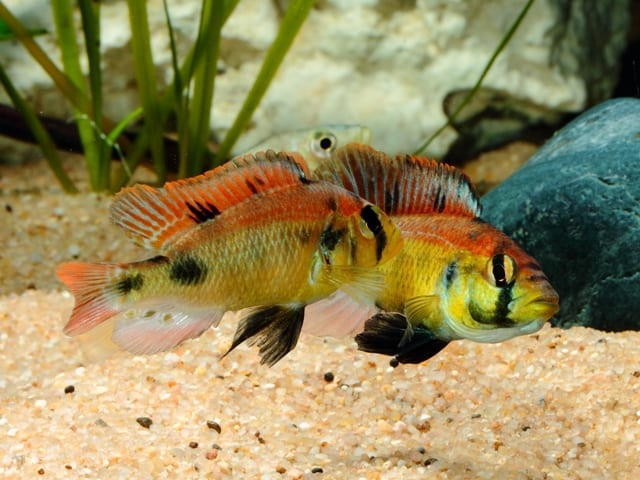 "Astatotilapia aeneocolor - ""Yellow Belly"" 2"