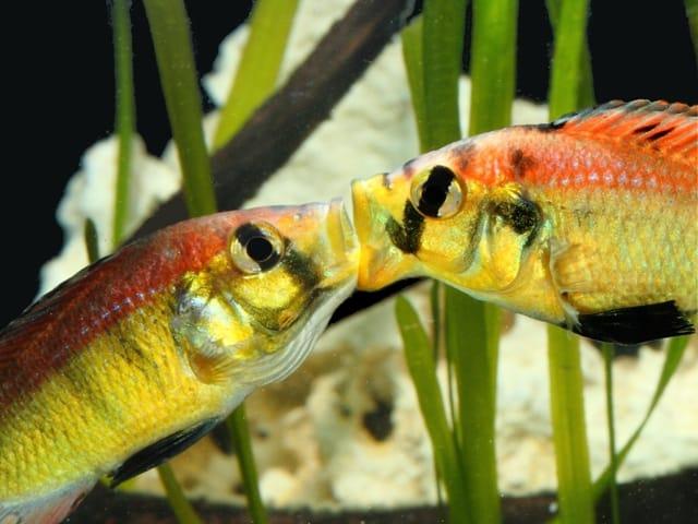 "Astatotilapia aeneocolor - ""Yellow Belly"" 3"