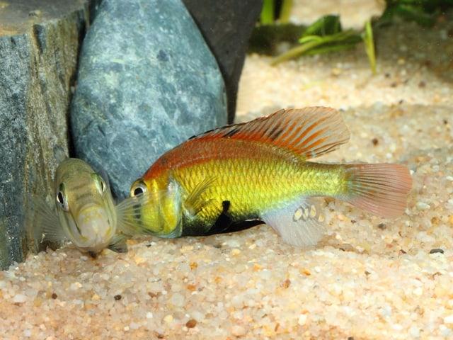 "Astatotilapia aeneocolor - ""Yellow Belly"" 4"