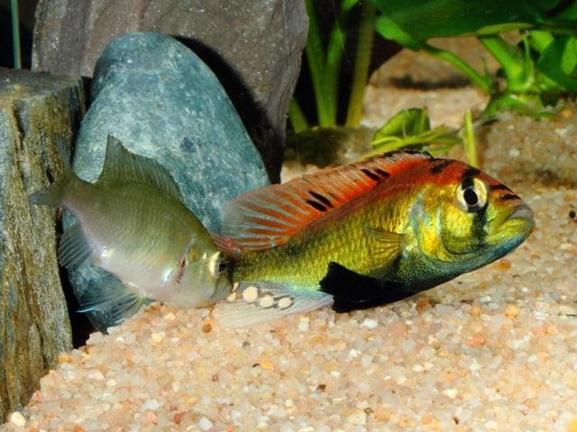"Astatotilapia aeneocolor - ""Yellow Belly"" 5"
