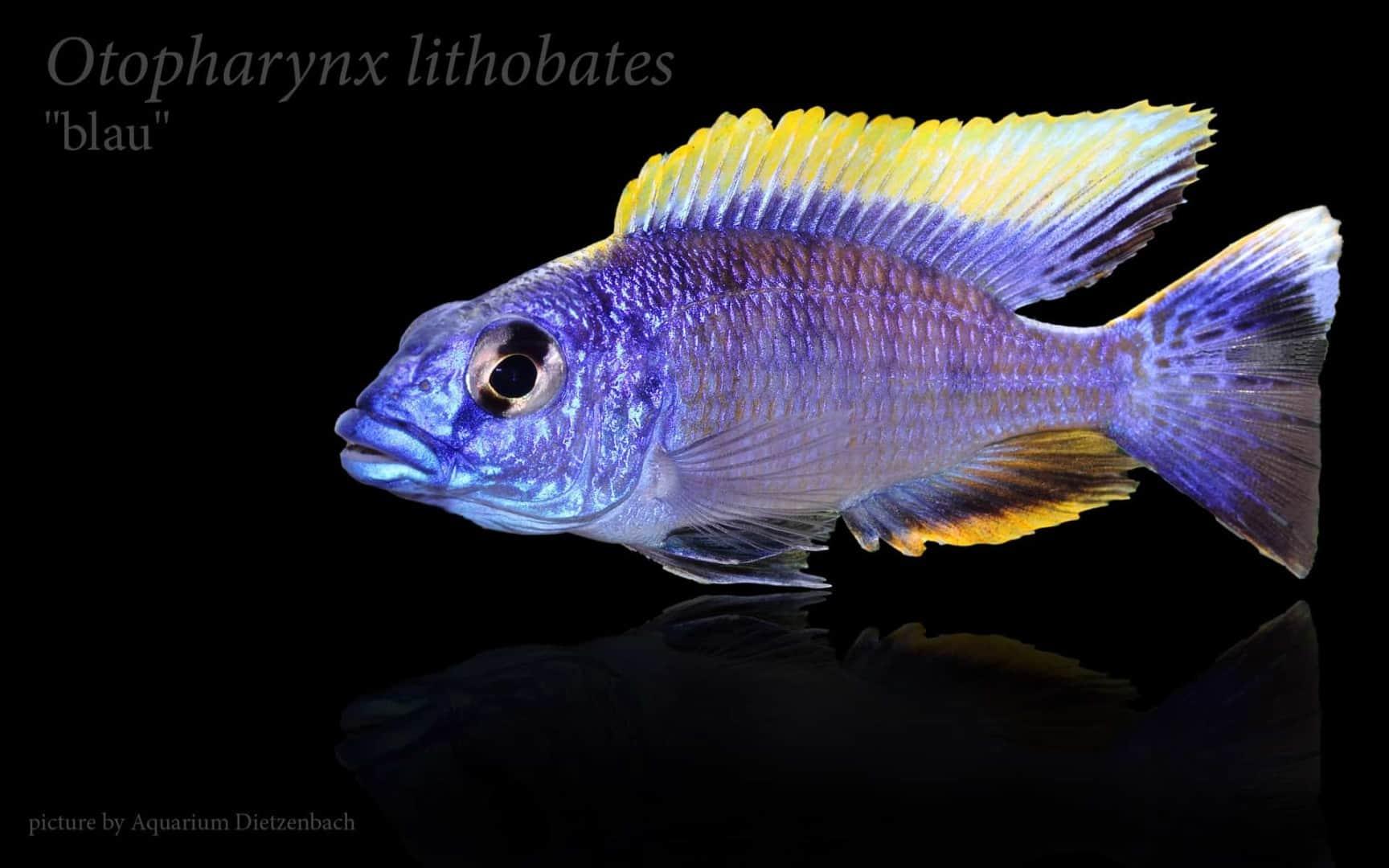 Otopharynx lithobates 7