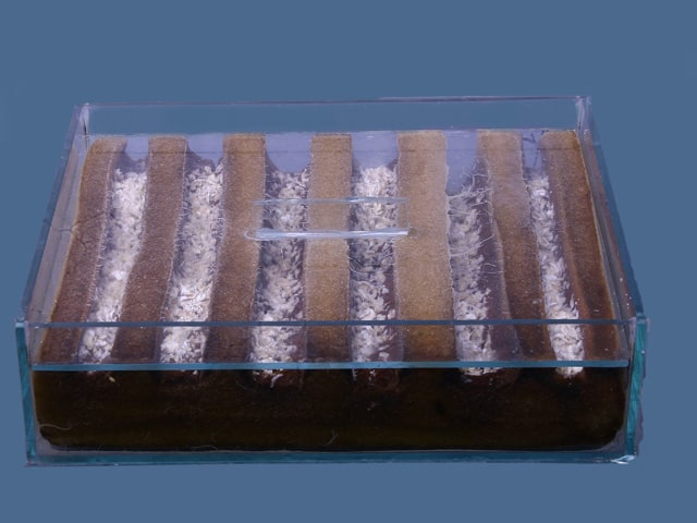 Grindalwürmer - Enchytraeus buchholzi 1