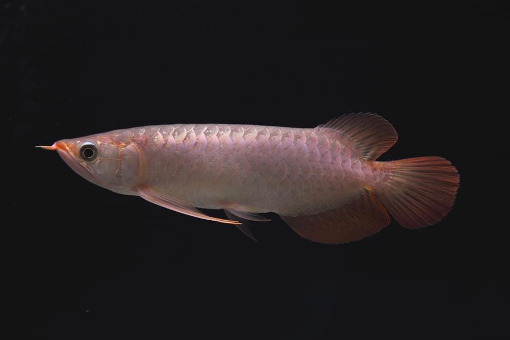Scleropages formosus - Asiatischer Gabelbart 8