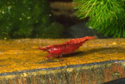Neocaridina heteropoda - Red-Fire Zwerggarnele 5