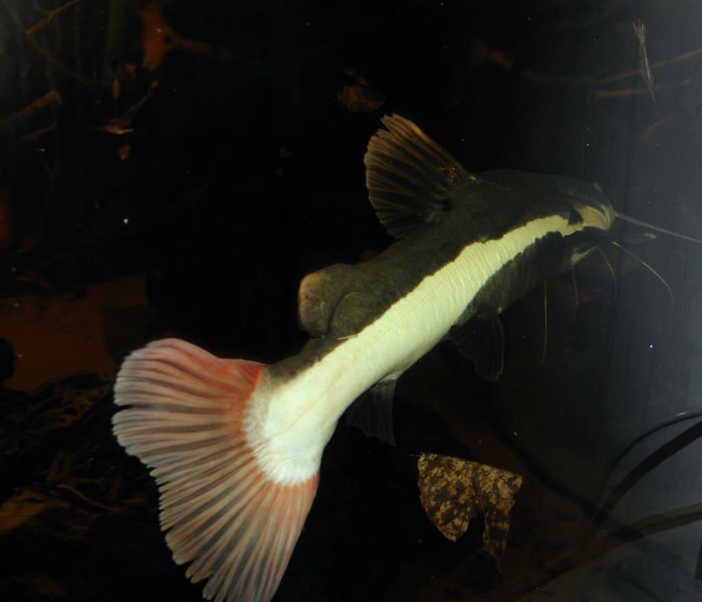 Phractocephalus hemioliopterus - Rotflossen-Antennenwels 4