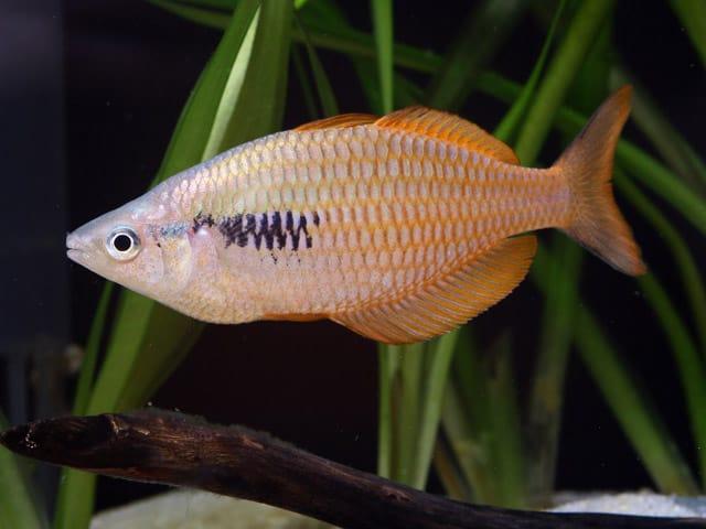 Melanotaenia parva - Lake Kurumoi Regenbogenfische 1