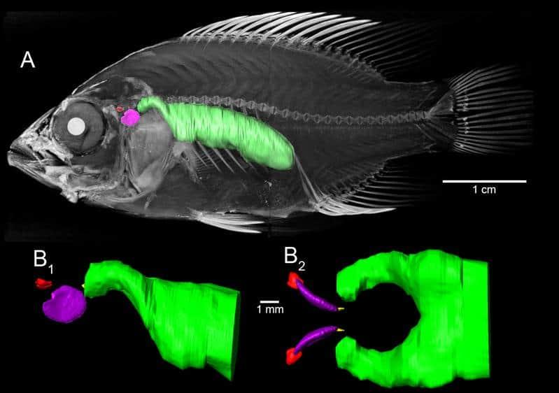 Buntbarsche: Wie wirkt sich die Schwimmblase auf das Hörvermögen aus? 2