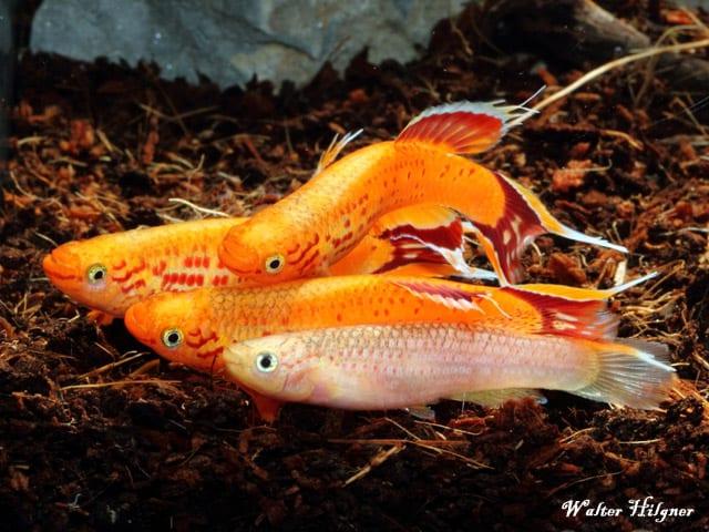 Aphyosemion australe - Kap Lopez 14