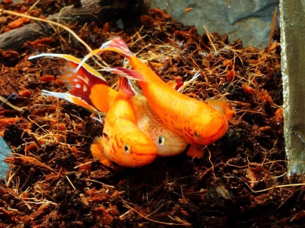 Aphyosemion australe - Kap Lopez 5