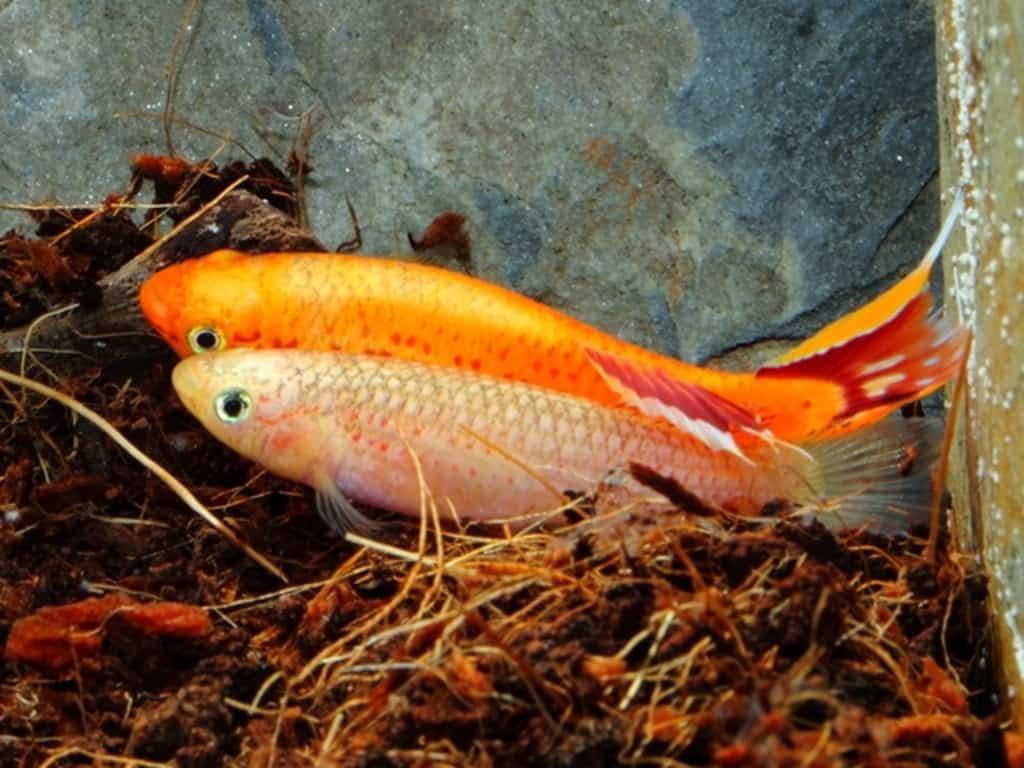 Aphyosemion australe - Kap Lopez 6