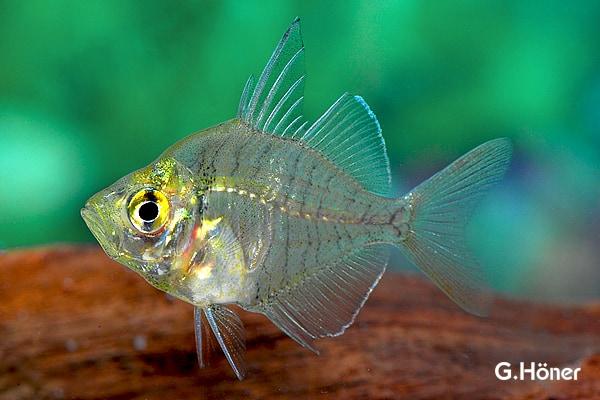 Fischvorstellung: Indischer Glasbarsch 1