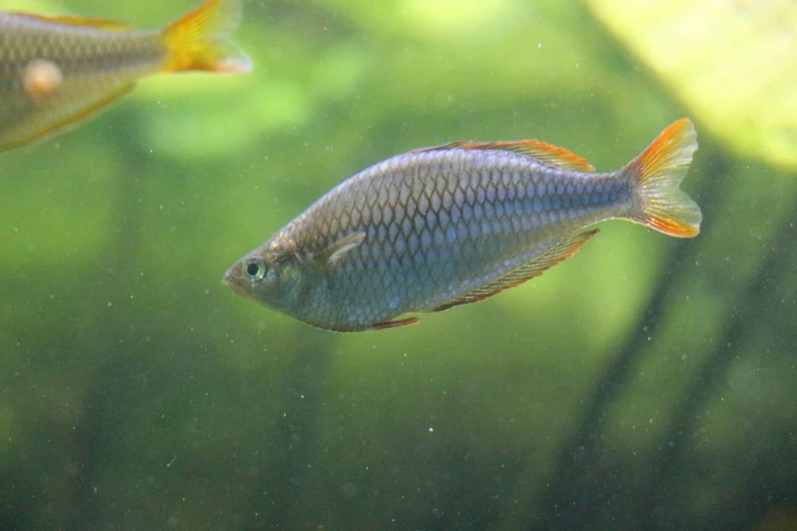 Melanotaenia praecox - Diamant-Regenbogenfisch 6