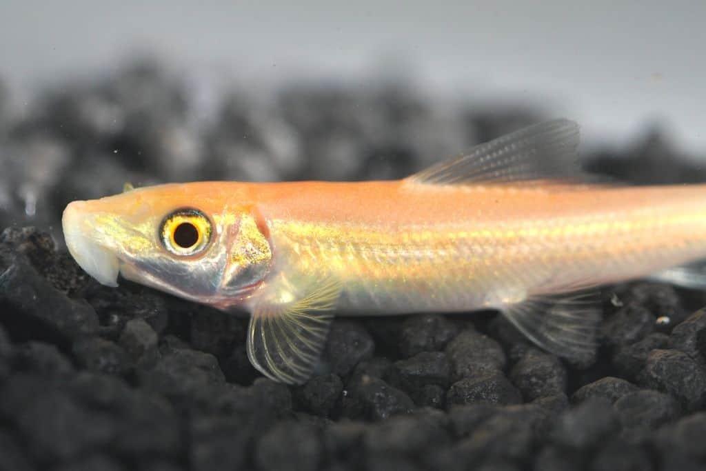 Gyrinocheilus aymonieri saugschmerle my fish for Robuste zierfische