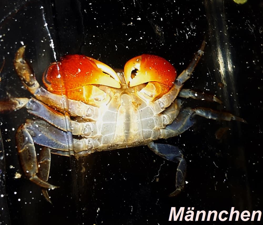 Pseudosesarma moeshi - Rote Mangrovenkrabbe 12