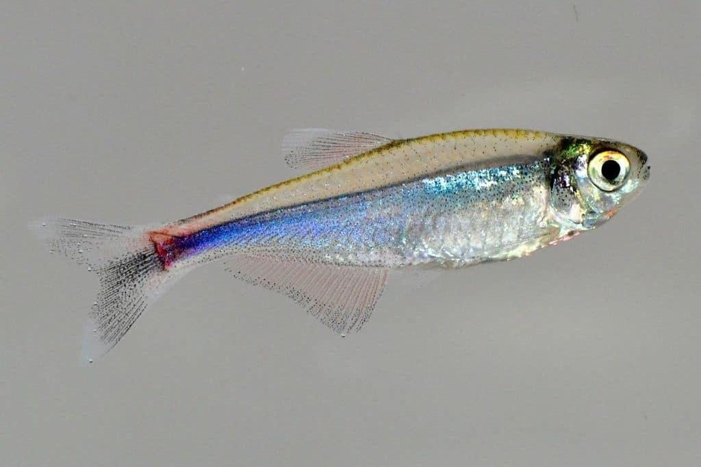 Boehlkea fredcochui - Blauer Perusalmler 2