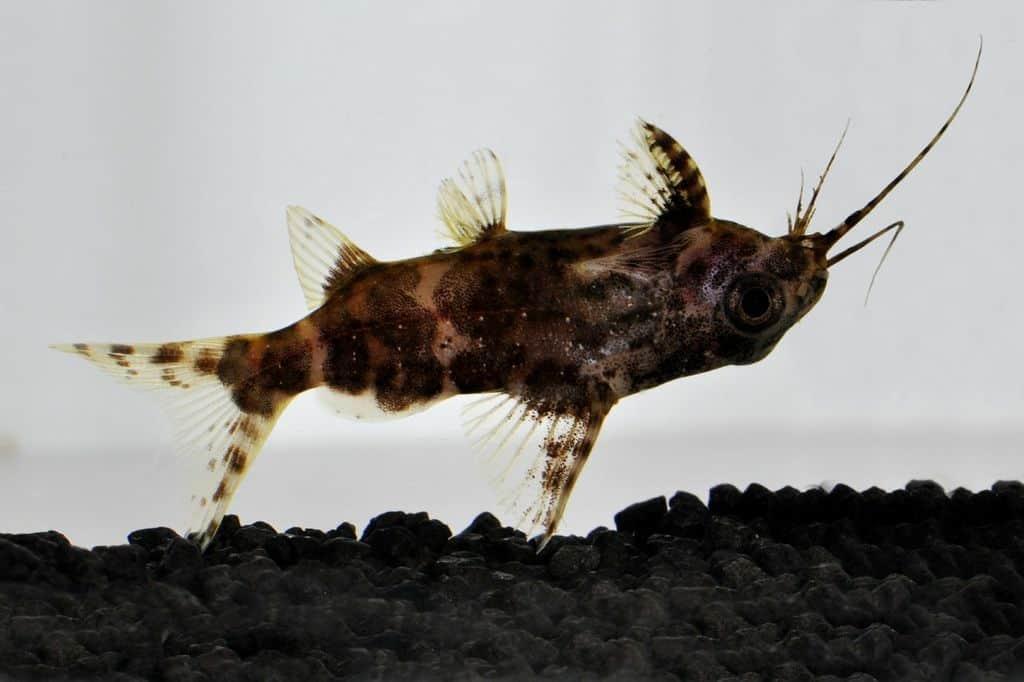 Synodontis nigriventris - Rückenschwimmender Kongowels 4