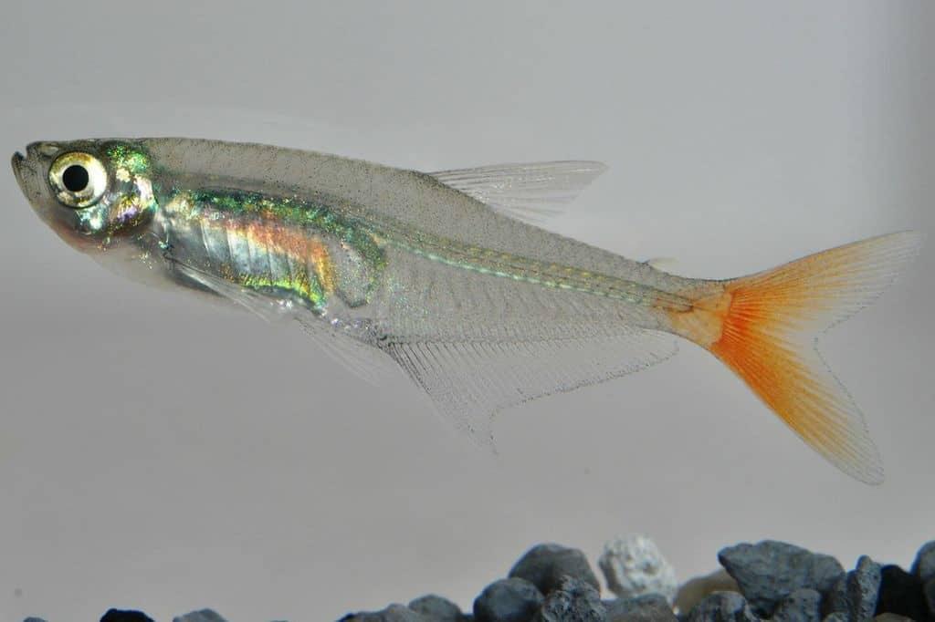 Prionobrama filigera - Rotflossen-Glassalmler 2