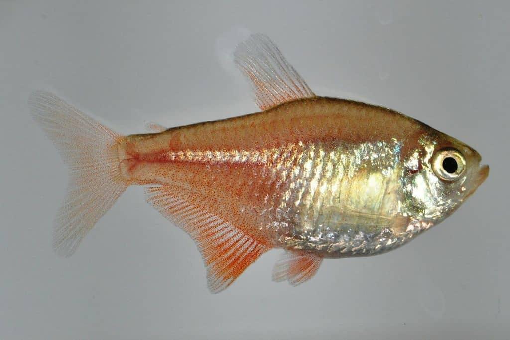 Hyphessobrycon flammeus - Roter von Rio 2