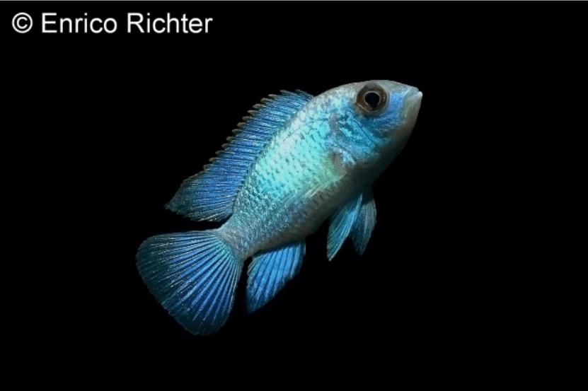Andinoacara pulcher - Neonblauer Buntbarsch 2