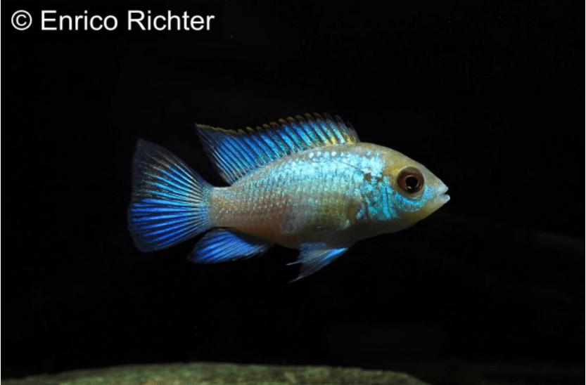 Andinoacara pulcher - Neonblauer Buntbarsch 3
