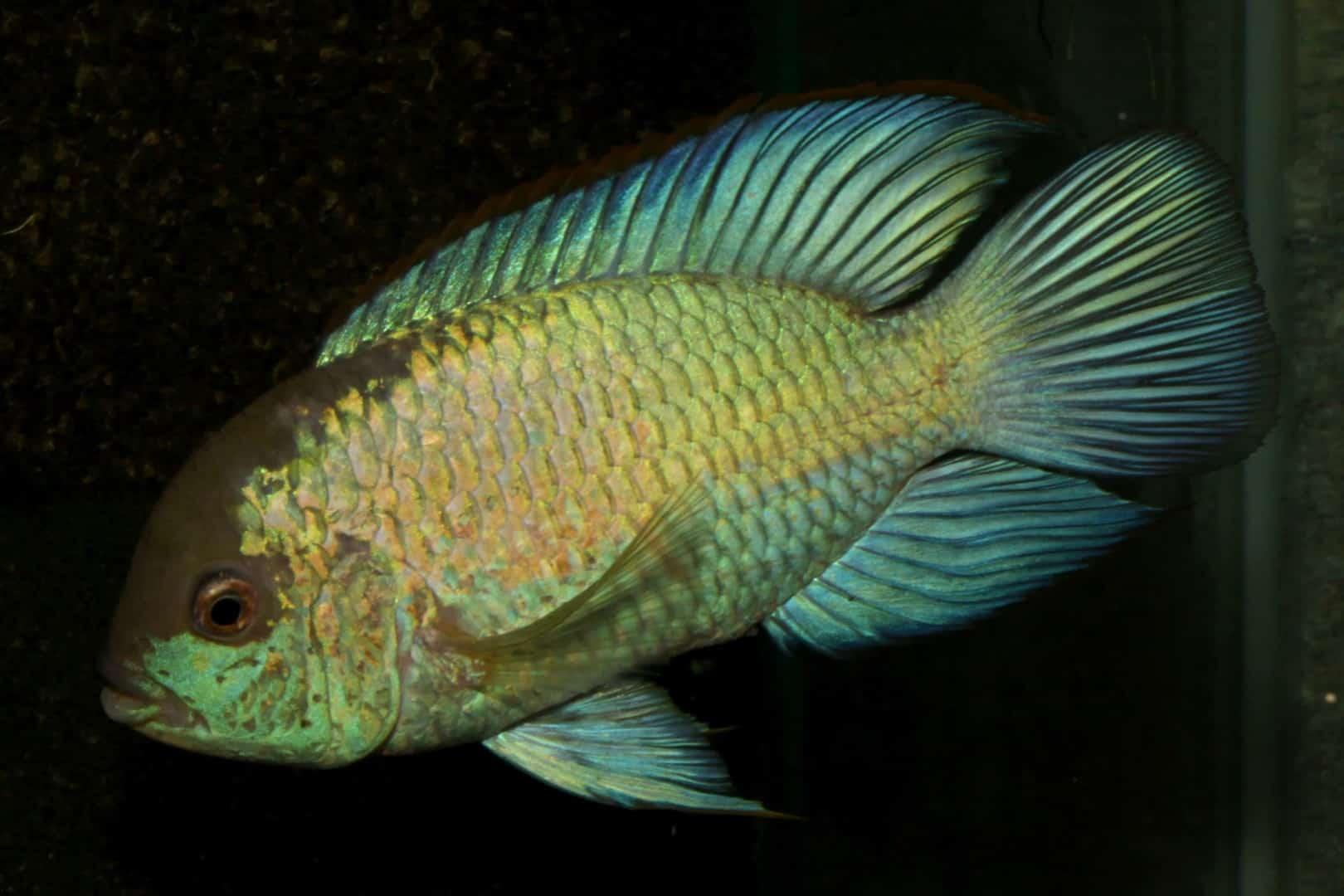Andinoacara pulcher - Neonblauer Buntbarsch 4