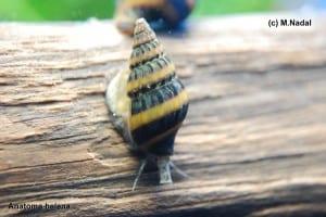 Clea helena - Raub-Turmdeckelschnecke 2