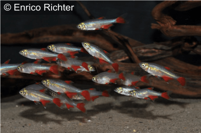 Aphyocharax anistisi - Rotflossensalmler 3