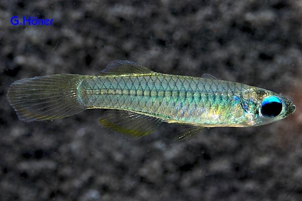 Aplocheilichthys normani - Normans Leuchtaugenfisch 1