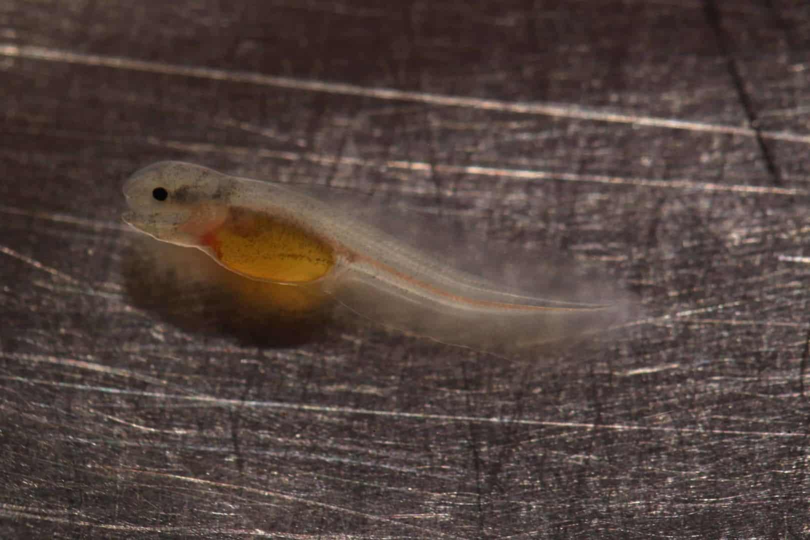 Apteronotus albifrons - Weißstirn-Messerfisch 7
