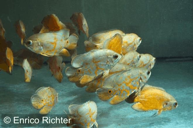 Astronotus ocellatus - Pfauenaugenbuntbarsch 5