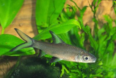 Balantiocheilus melanopterus - Haibarbe 2