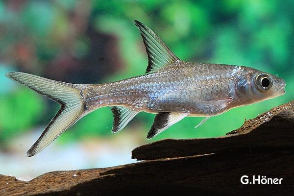 Balantiocheilus melanopterus - Haibarbe 4