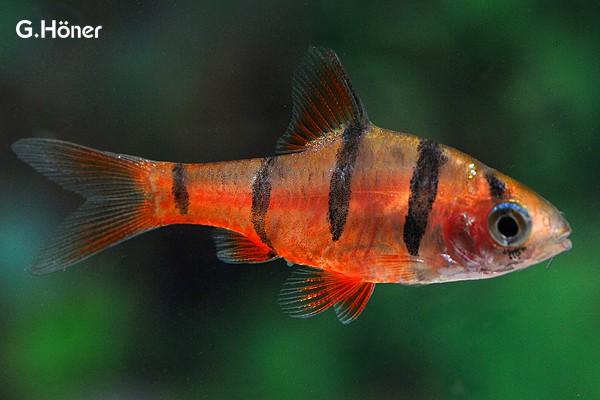 Interessante Aquarienbewohner - Barben 6