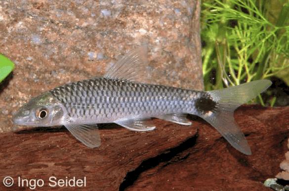Crossocheilus reticulatus - Netz-Pinselalgenfresser 3